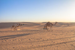 骆驼在迪拜UEA 免版税库存照片
