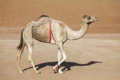 骆驼在阿曼的沙漠 库存照片