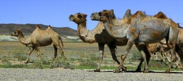 骆驼在隔壁滩在蒙古 库存照片