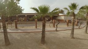骆驼在骆驼公园 股票视频