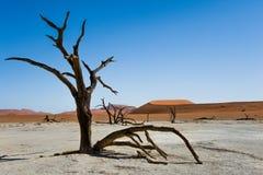 骆驼在死的Vlei的刺树, Sossusvlei国家公园,纳米比亚 图库摄影