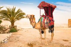 骆驼在Judean沙漠 库存照片