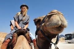 骆驼在Judean Des的乘驾和沙漠活动 免版税库存照片