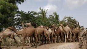 骆驼在Kachchh -录影 股票录像