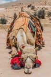 骆驼在petra约旦nabatean城市 免版税库存照片