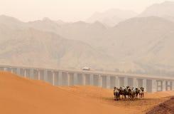 骆驼在Tennger离开,沙坡头风景区,宁夏,瓷 库存图片