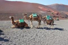 骆驼在Timanfaya国家公园,兰萨罗特岛,加那利群岛,西班牙 图库摄影