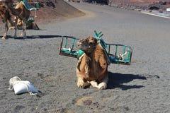 骆驼在Timanfaya国家公园,兰萨罗特岛,加那利群岛,西班牙 库存图片