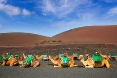 骆驼在timanfaya火山的Lanzarote 免版税库存照片