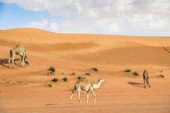 骆驼在Wahiba阿曼 图库摄影