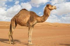 骆驼在Wahiba阿曼 库存照片