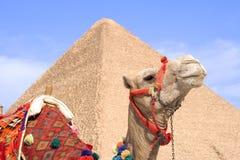 骆驼埃及人 免版税图库摄影