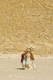 骆驼埃及前吉萨棉金字塔 免版税库存照片