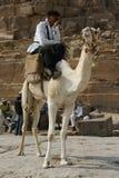 骆驼埃及车手 库存照片