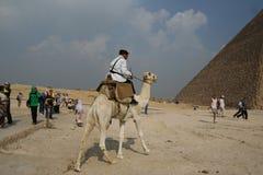 骆驼埃及车手 库存图片