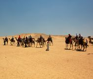 骆驼埃及远征 库存图片