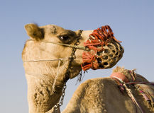 骆驼培训 库存照片