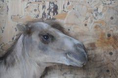骆驼墙壁 免版税库存图片