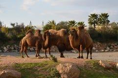 骆驼家庭 库存图片