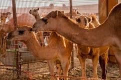 骆驼家庭 免版税库存图片