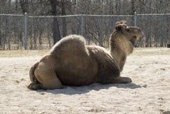 骆驼小丘一 库存图片