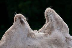 骆驼小丘 库存图片