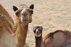 骆驼小的家庭特写镜头 库存照片