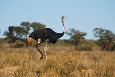 骆驼属男性驼鸟非洲鸵鸟类 免版税库存照片