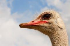 骆驼属驼鸟纵向非洲鸵鸟类 免版税库存照片
