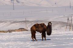 骆驼山雪冬天吃草 免版税库存图片