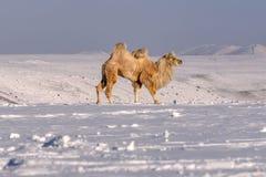 骆驼山雪冬天吃草 库存照片
