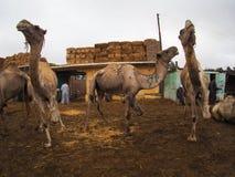骆驼待售在市场上在开罗,埃及 免版税库存图片
