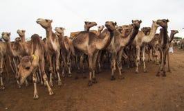 骆驼待售在市场上在开罗,埃及 库存图片