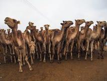 骆驼待售在市场上在开罗,埃及 免版税库存照片