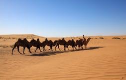 骆驼徒步旅行队 库存图片