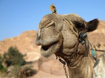 骆驼微笑 库存照片