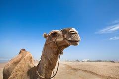 骆驼微笑  免版税库存照片
