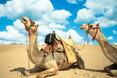 骆驼感到伟大在沙漠,尽管热,吉萨棉,埃及 免版税库存照片