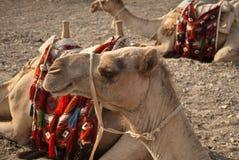 骆驼接近的题头s 免版税库存照片