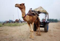 骆驼推车 库存照片