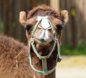 骆驼摆在 免版税库存图片