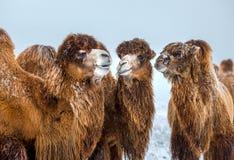 骆驼摩洛哥纵向 在冬天斯塔夫罗波尔干草原的骆驼 免版税库存图片
