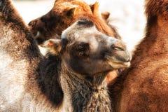 骆驼摩洛哥纵向 库存图片