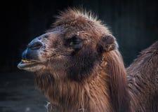 骆驼摩洛哥纵向 免版税库存图片