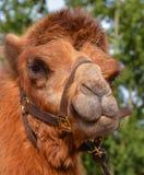 骆驼摩洛哥纵向 免版税库存照片