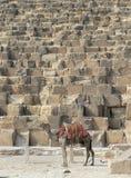 骆驼支持金字塔 库存照片