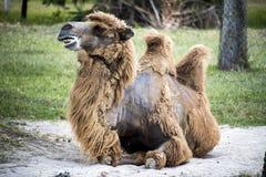 骆驼放下。 库存图片
