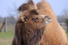 骆驼星期日 免版税图库摄影