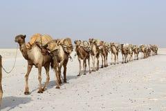 骆驼有蓬卡车运载的盐在非洲` s Danakil沙漠,埃塞俄比亚 免版税库存图片