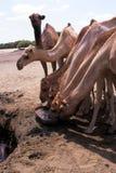 骆驼来源水 免版税库存图片